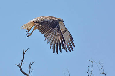 Photograph - Red-tailed Hawk Juvenile by Alan Lenk