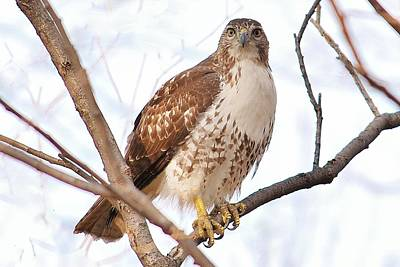 Photograph - Red-tailed Hawk  Juvenile by Joy Bradley