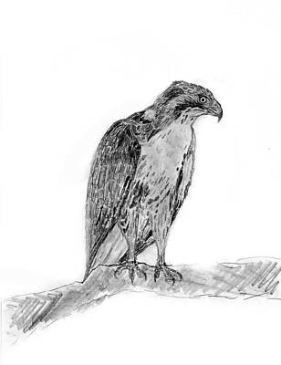 Red Tail Hawks Drawing - Red Tailed Hawk by KG Christopher