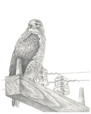 Red Tail Hawks Drawing - Red Tailed Hawk by Lori Stonum