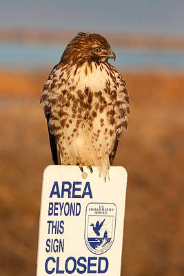 Red Tailed Hawk Lower Klamath National Wildlife Refuge Northern California Art Print