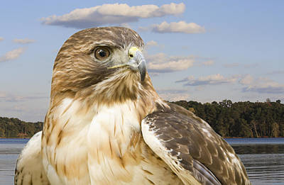 Lamborghini Cars - Red-Tailed Hawk by Melinda Fawver