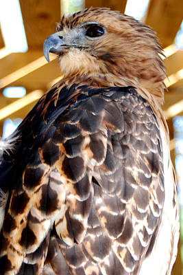 Round-tailed Ground Squirrel Photograph - Red Tailed Hawk  by Optical Playground By MP Ray