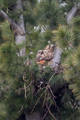 Red-tailed Hawk Photograph - Red-tailed Hawk Nest by Natural Focal Point Photography
