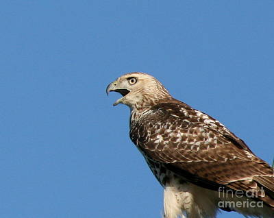 Photograph - Red Tailed Hawk October Portrait  by Neal Eslinger
