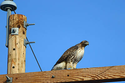 Red-tailed Hawk On A Power Pole Art Print
