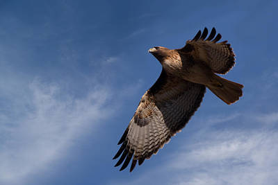 Soaring Hawk Photograph - Red-tailed Hawk On The Hunt by Kathleen Bishop