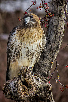 Red Tail Hawks Photograph - Red-tailed Hawk by Pat Eisenberger
