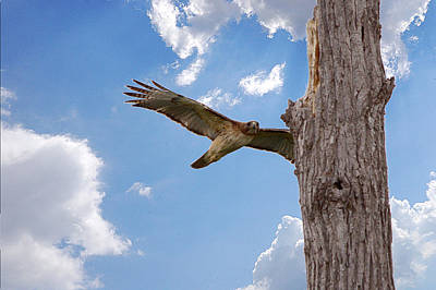 Red-tailed Hawk Perch Approach Landing Art Print by Roy Williams