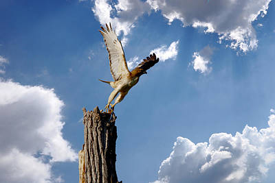 Red-tailed Hawk Perch Series 5 Print by Roy Williams