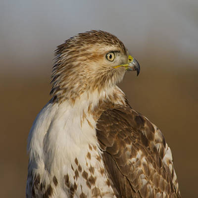 Photograph - Red-tailed Hawk Portrait by Larry Bohlin