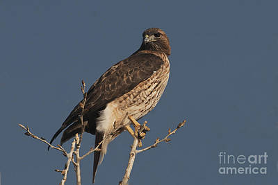 Red Tail Hawk Photograph - Red-tailed Hawk by Ron Sanford
