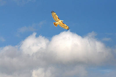 Red-tailed Hawk Soaring High Art Print