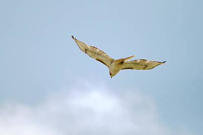Red-tailed Hawk Soaring Series 10 Original by Roy Williams