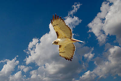 Red-tailed Hawk Soaring Series 4 Art Print by Roy Williams