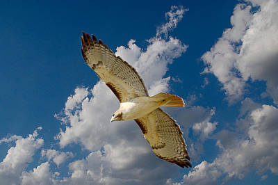 Red-tailed Hawk Soaring Series 5 Art Print