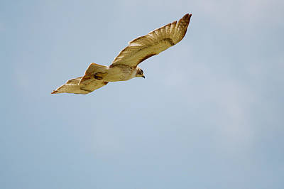 Red-tailed Hawk Soaring Series 7 Art Print by Roy Williams