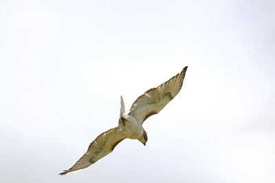 Red-tailed Hawk Soaring Series 9 Original by Roy Williams