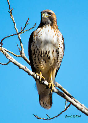 Red Tailed Hawk Standing Tall Art Print by Stephen  Johnson