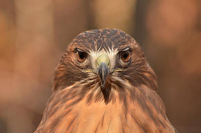 Red-tailed Hawk Stare Art Print