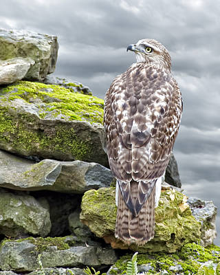 Red Tail Hawks Photograph - Red Tailed Hawk by Steven  Michael