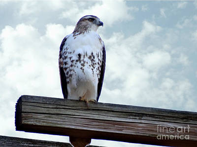 Photograph - Red Tailed Hawk Waiting by Gena Weiser