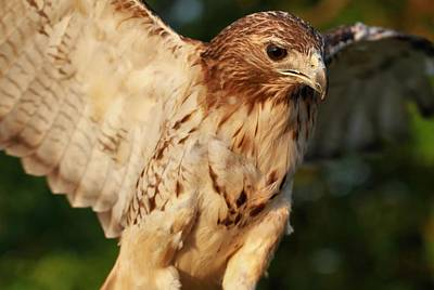 Hawk Photograph - Red Tailed Hawk Wingspan by Dan Sproul