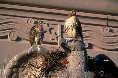 Red Tail Hawk Photograph - Red-tailed Hawks by Paul J. Fusco