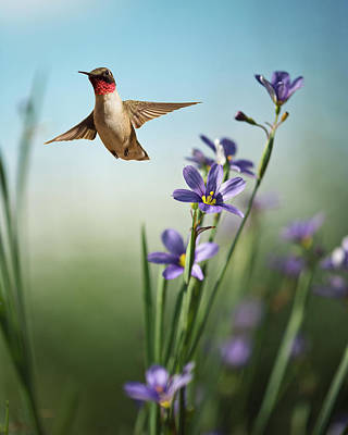 Flying Photograph - Red Throat by Jody Trappe Photography