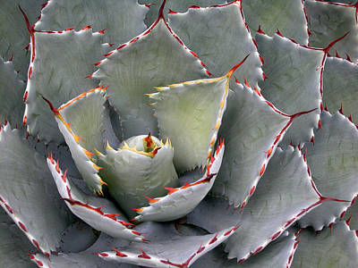 Photograph - Red-tipped Agave by Rob Huntley