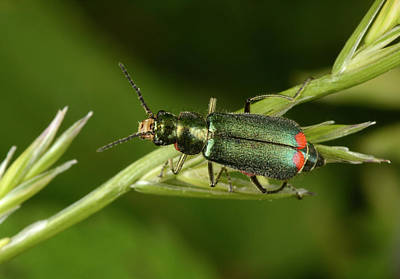 Beetle Photograph - Red-tipped Flower Beetle by Nigel Downer