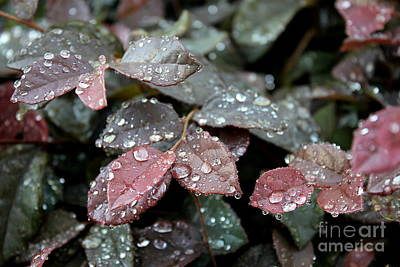 Photograph - Red Tips After A Rain by Reid Callaway