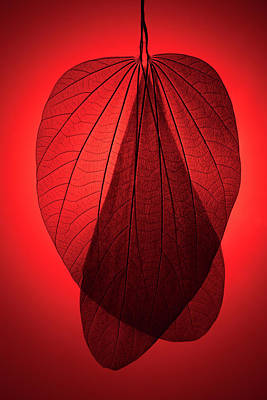 Photograph - Red Toned Leaf Skeleton by Miragec