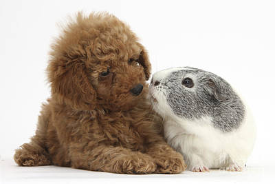 House Pet Photograph - Red Toy Poodle Puppy And Guinea Pig by Mark Taylor