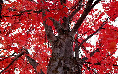 Photograph - Red Tree Of Autumn by AJ  Schibig