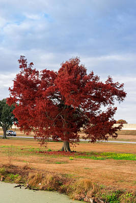 Bayou Photograph - Red Tree by Ross Muggivan
