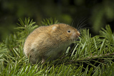 Michael Douglas Photograph - Red Tree Vole In Douglas-fir by Michael Durham