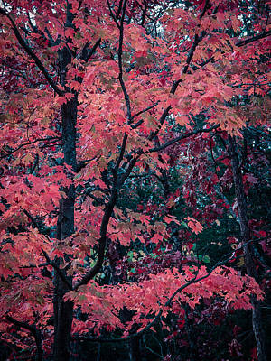 Photograph - Red Tree by Wayne Meyer