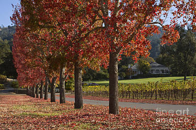 Photograph - Red Trees And Vineyards Napa by Craig Lovell
