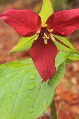Photograph - Red Trillium In The Rain by John Burk