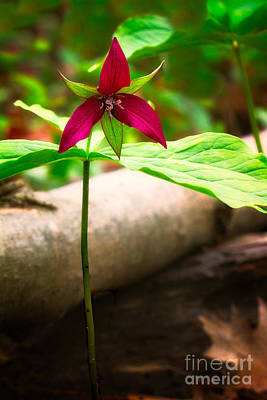 Red Trillium Photograph - Red Trillium by Todd Bielby