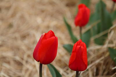 Red Photograph - Red Tulip - 01133 by DC Photographer