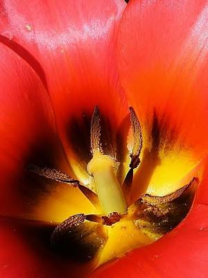 Photograph - Red Tulip Abstract by Bruce Bley
