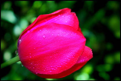 Red Tulip After The Rain Art Print by Aya Murrells