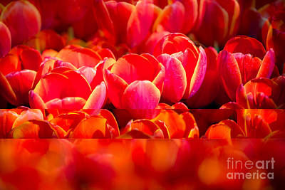 Red Abstract Photograph - Red Tulip Blend by Sonja Quintero