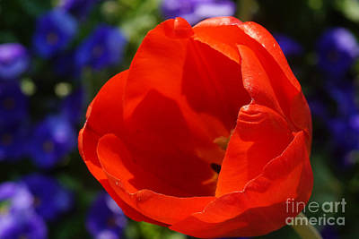 Photograph - Red Tulip Calyx 1 by Rudi Prott