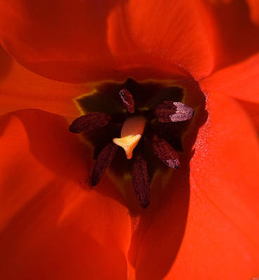 Photograph - Red Tulip by Cara Moulds