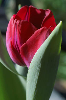 Tulip Pics Photograph - Red Tulip by David Schleiss