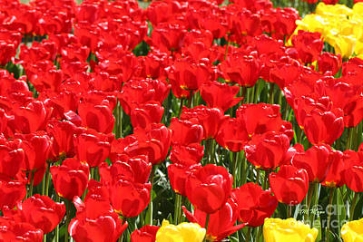 Red Tulip Field Art Print by Tap On Photo