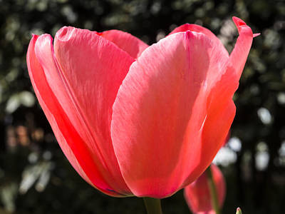 Photograph - Red Tulip Flower by Giovanni Bertagna